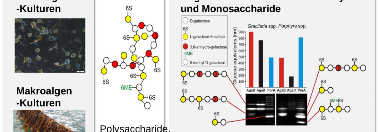 Von der Kultivierung über die Extraktion bis zur Enzymgewinnung - ein Bioraffineriekonzept für Algen